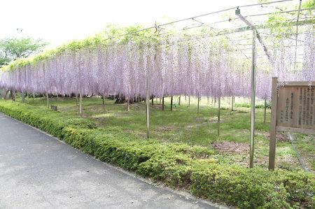 青葉園の藤
