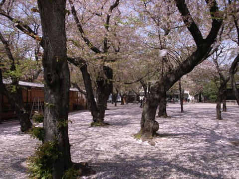 桜散り敷いて