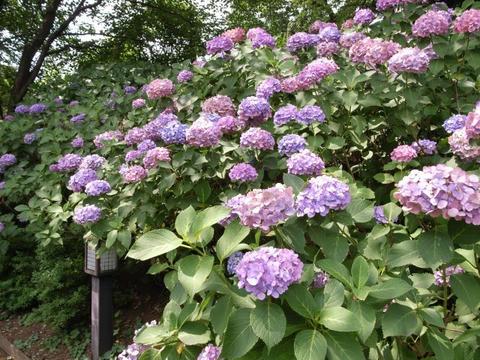 紫陽花も暑かろう