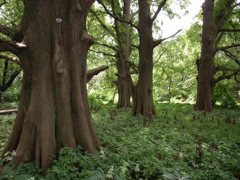ラクウショウの森の中