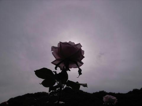 薔薇の後光