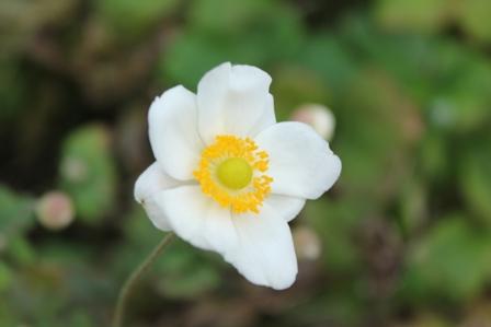 シュウメイギクの白花