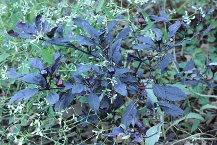 トウガラシのブラックパール