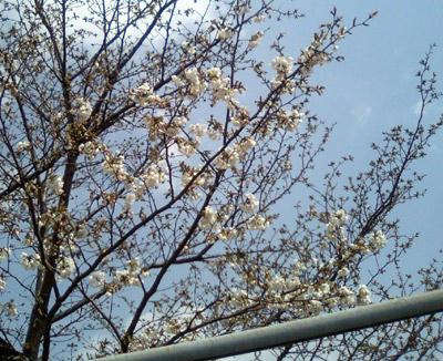 桜1分咲き?
