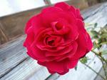 いい香りのするバラです。