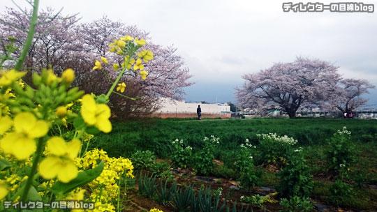 千葉県八千代市の桜2016 まだ五分咲き@八千代中央駅周辺~新川千本桜