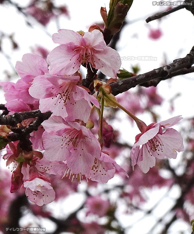千葉県八千代市の新川沿い河津桜「日本最長級」千本桜まつりの様子