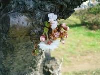 桜が咲き始めた様子