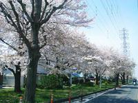 去年の桜が満開の様子