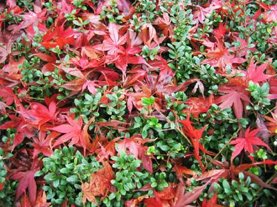 つげの上の散紅葉