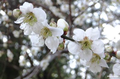 梅の枝・花・蕾(塗り絵編集する前の写真)