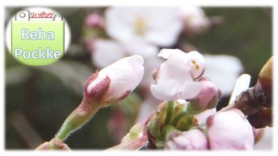 RehaPockke | トップイメージ(桜の開花と蕾)2015.4.5-