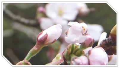 蕾桜 | イメージ