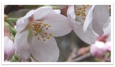 桜の花 | イメージ