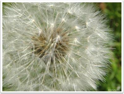 たんぽぽの綿毛2 | イメージ