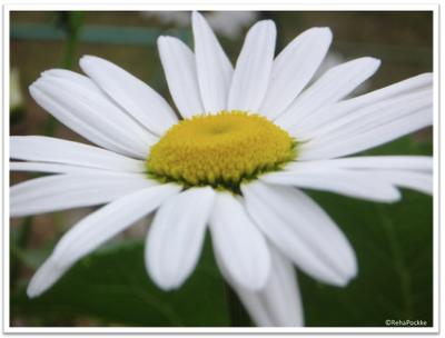 フランス菊1 | イメージ