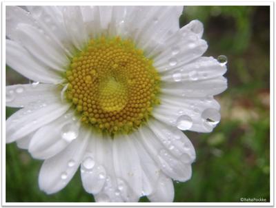 フランス菊2 | イメージ