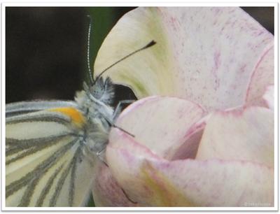 チューリップと蝶 | イメージ