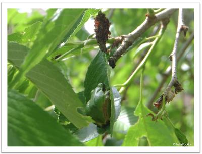 桜の葉っぱと蛙(カエル)| イメージ