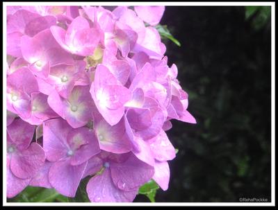 紫陽花(あじさい)と雨の水滴 | イメージ