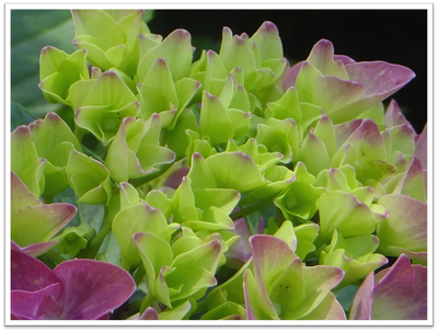 紫陽花(あじさい)| イメージ
