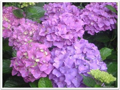 紫陽花(あいじさい)の花々 | イメージ