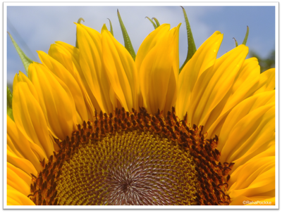 向日葵(ひまわり)の花 | イメージ