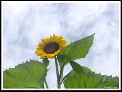 向日葵(ひまわり)とくもり空 | イメージ