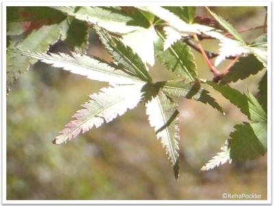 緑のもみじ | 写真画像イメージ