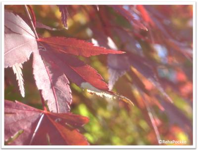もみじの紅葉 | 写真画像イメージ