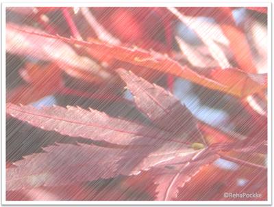 もみじの紅葉 | 写真画像の線画風イメージ