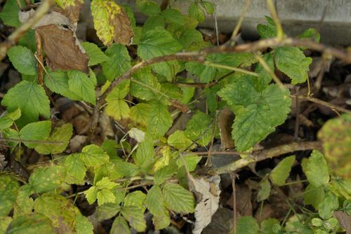 ラズベリーの落ち葉