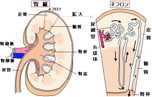 腎臓の構造