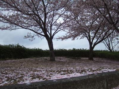 雨で散る桜ってなんだか悲しい。