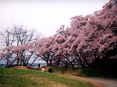 雪が降る前日の桜
