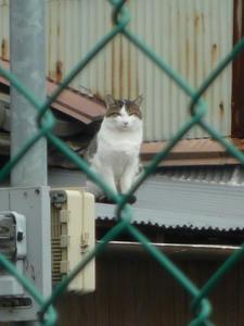 kijishiro1