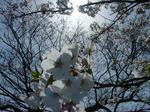 大村公園で花見