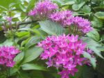 マゼンタ色の花