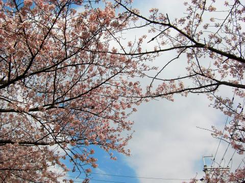 刀根山の桜