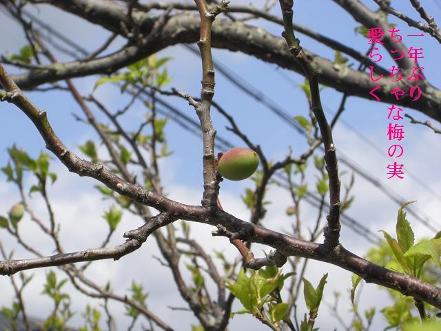 小さな梅の実