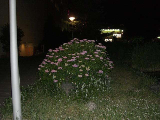 ぼんやり紫陽花