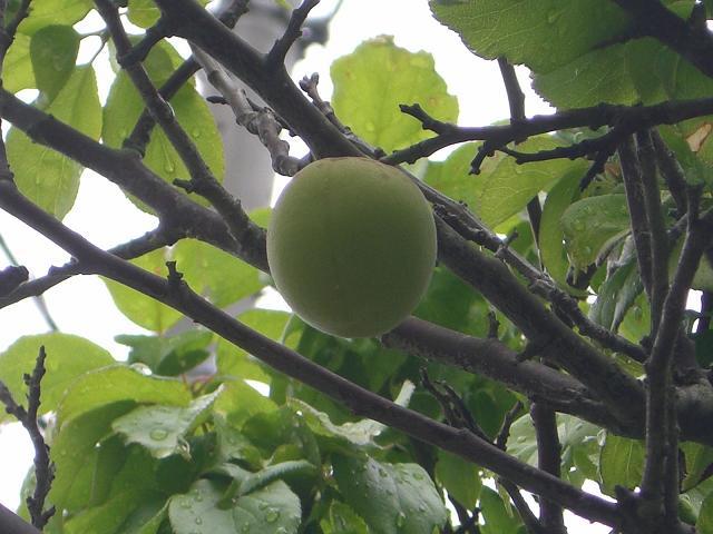 太った梅の実