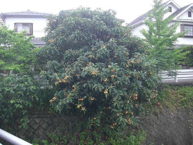 大きな枇杷の木