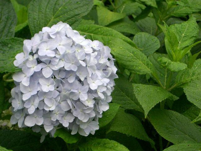 まだまだきれいな紫陽花の花