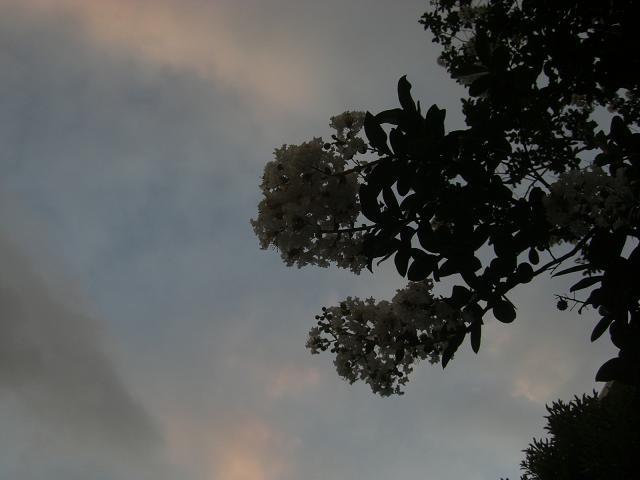 夕焼けと百日紅