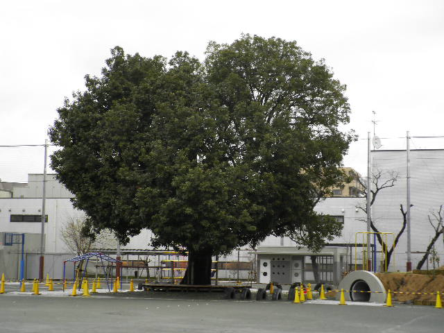 桜小学校のオオアカガシ