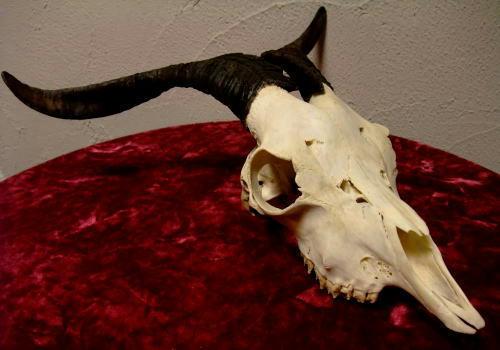 アンゴラ山羊の頭骨・・・美しいです。