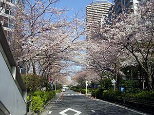 006sakuraa.jpg