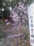 門神さまの桜