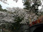 伊太祁曽神社(和歌山市)満開の桜